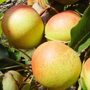 苹果梨的主要营养成分
