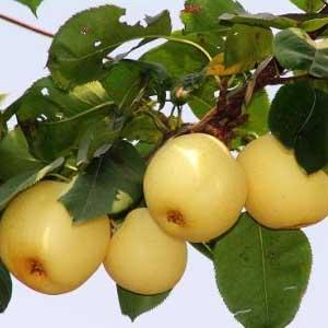 明月梨的主要营养成分