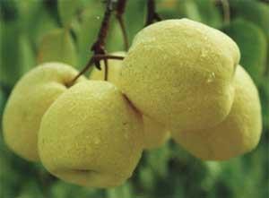 酥梨的主要营养成分
