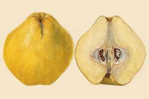 木梨的主要营养成分